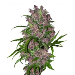 Purple Bud 23-440x440