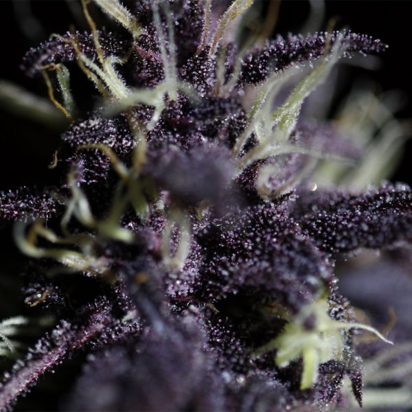 Auto-Dark-Purple-feminised-GanjaSeeds