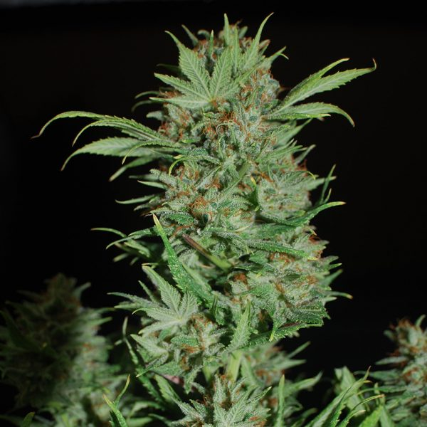 Auto-Wembley-feminised-GanjaLiveSeeds