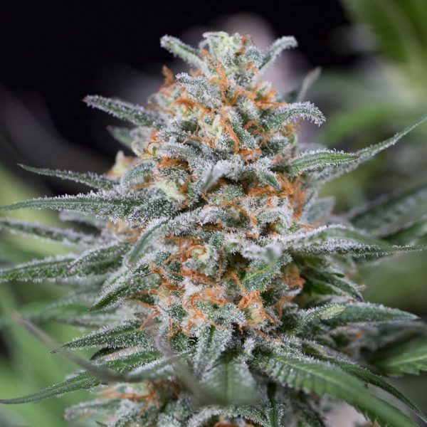 Critical-Mass-feminised-GanjaSeeds