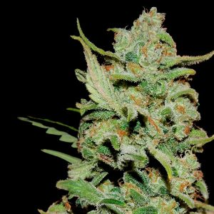 Honey-B-feminised-GanjaSeeds