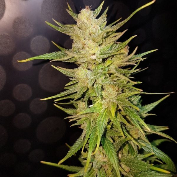 Nefertiti-feminised-GanjaLiveSeeds