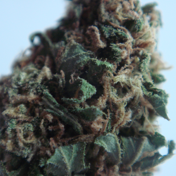 New-York-Diesel-feminised-GanjaLiveSeeds