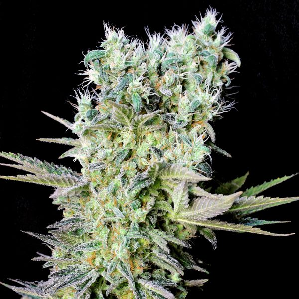 Northern-Lights-feminised-GanjaLiveSeeds