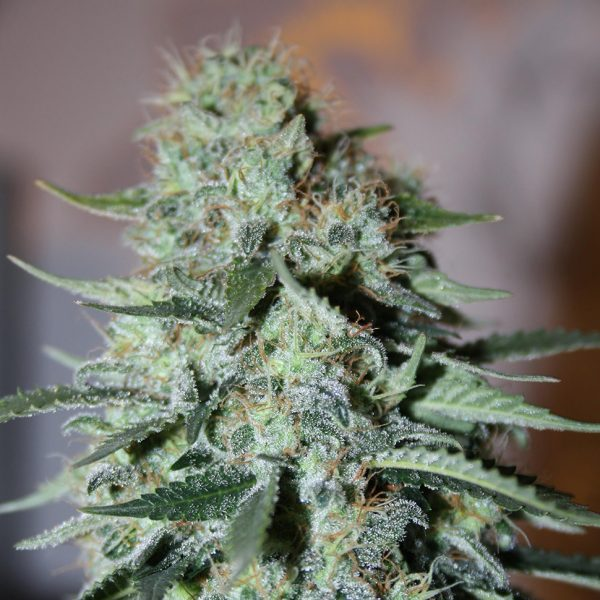 White-Widow-feminised-GanjaLiveSeeds