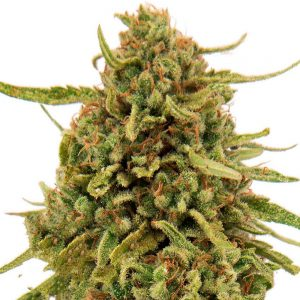 Widow-Remedy-feminised-GanjaLiveSeeds