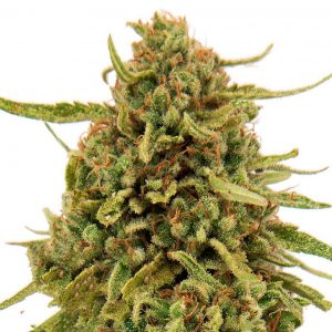 Widow-Remedy-feminised-GanjaSeeds