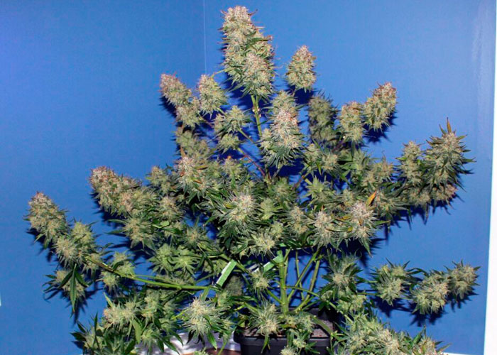 Auto Girl Scout Cookies feminised